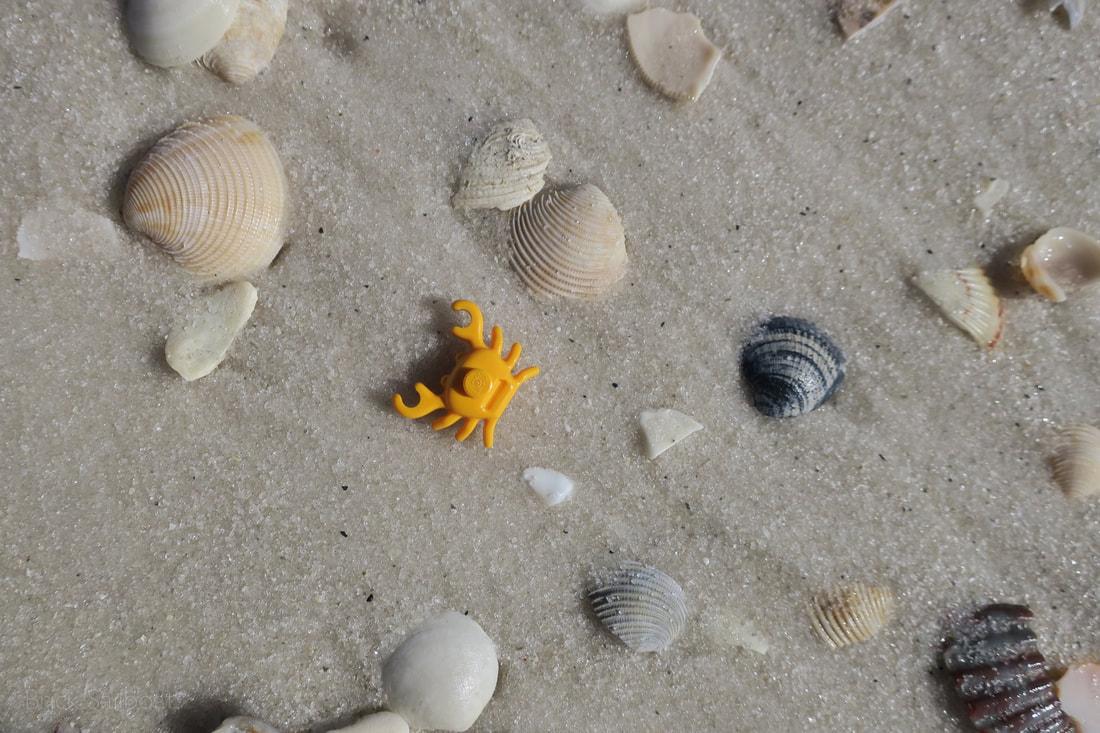 A lone brick crab on the beach surrounded by sea shells